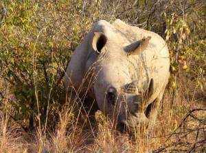 pilanesberg-white-rhino