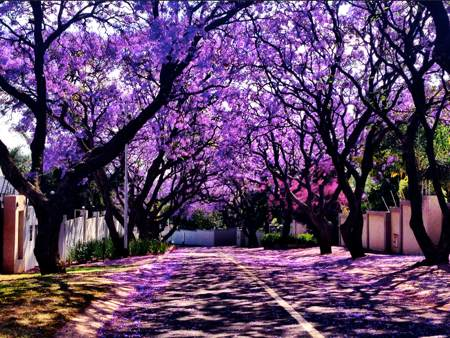 Jacarandas-October-in-Pretoria-South-Africa