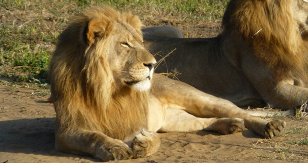 Lion-male-at-Mkuze-Falls-KZN-South-Africa